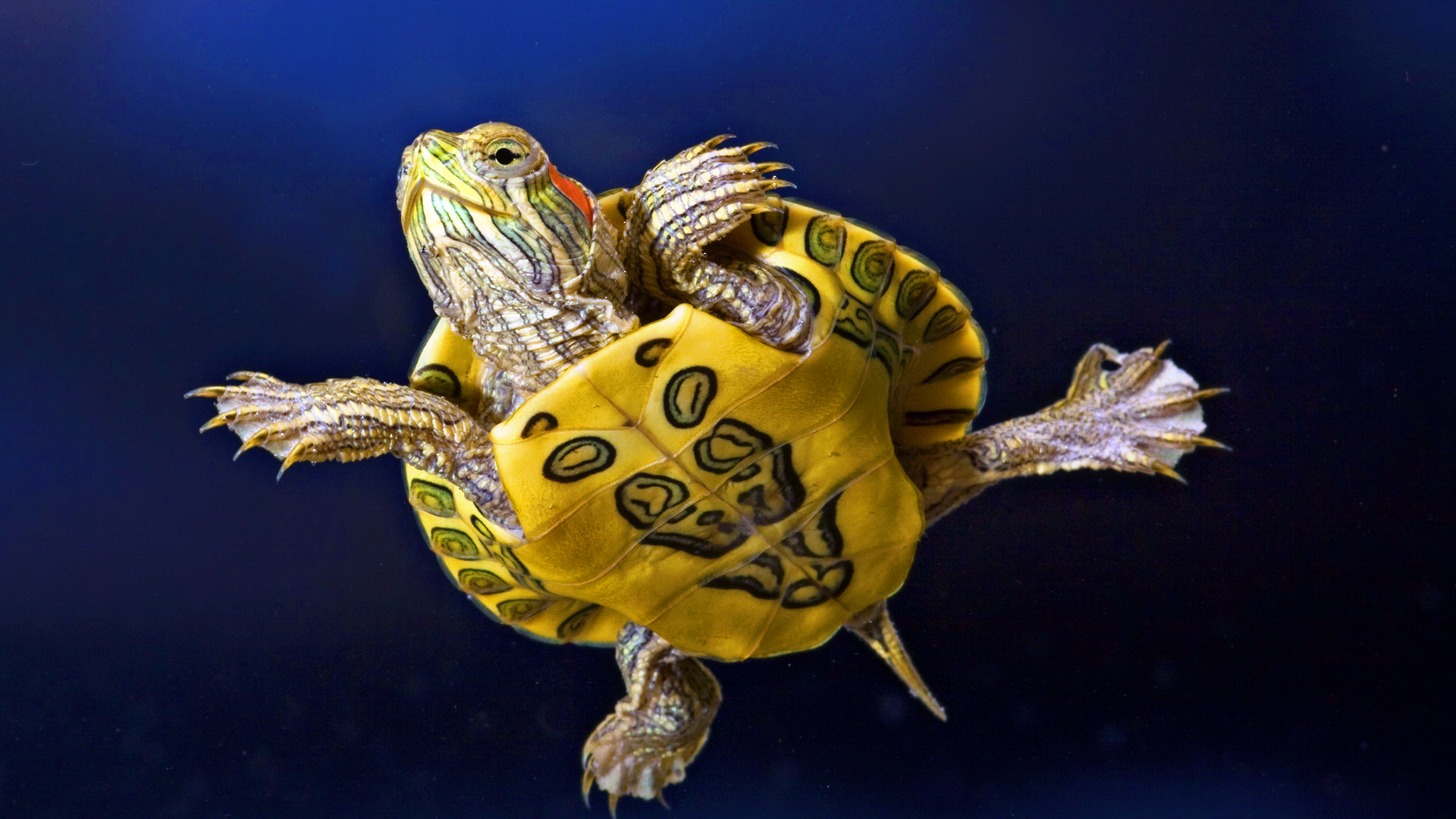 The Most Effective Tiny Turtle Pets For Reptile Fanatics With Minimal Area